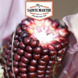 Maïs Pop-corn Fraise 50 graines - La ferme Sainte Marthe