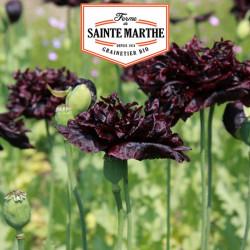 Pavot Black Peony 2 000 graines - La ferme Sainte Marthe