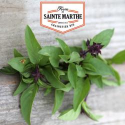 200 graines Basilic Thaï ou Indonésien - La ferme Sainte Marthe
