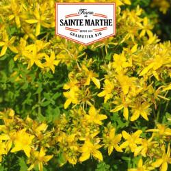 Millepertuis Perforé 1 500 graines - La ferme Sainte Marthe