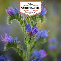 Viperine 150 graines - La ferme Sainte Marthe