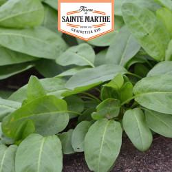 500 graines Oseille Epinard bio – Ferme de Sainte Marthe